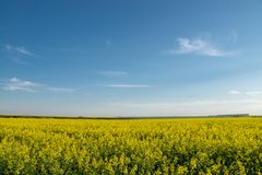 Yellow rapeseed field  under blue  sky. Yellow rapeseed field  under blue sky Royalty Free Stock Image