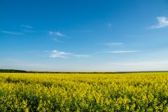 Yellow rapeseed field under blue sky. Yellow  rapeseed field under blue sky Stock Images