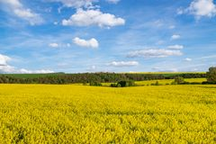 Yellow rapeseed field under blue sky. Yellow rapeseed  field under blue sky Royalty Free Stock Photo