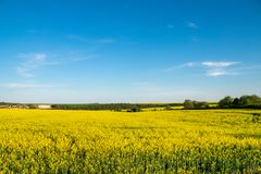 Yellow rapeseed field under blue sky. Yellow rapeseed  field under blue sky Royalty Free Stock Photography