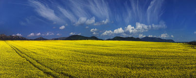 Yellow rapeseed field under a bright Royalty Free Stock Images