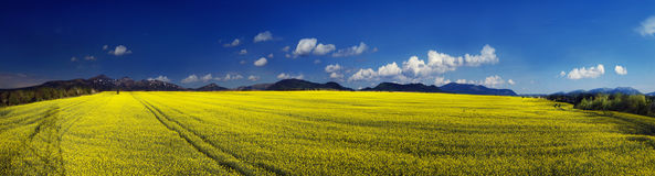 Yellow rapeseed field under a bright Stock Image