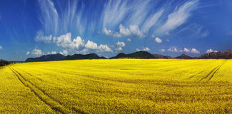 Yellow rapeseed field under a bright Stock Photos