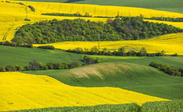 Yellow rapeseed fields and green wheat Stock Photography