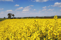 Yellow rapeseed fields. In spring season Stock Images