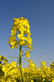Yellow rapeseed flower on blue sky background Royalty Free Stock Photos