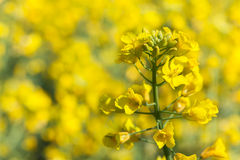 Yellow rapeseed flower Stock Photos