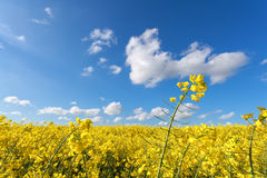 Yellow rapeseed flower field and blue sky Royalty Free Stock Photos