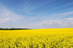 Yellow rapeseed flower field and blue sky. Yellow rapeseed flowers on field with blue sky and clouds before tree line against, Ukraine, copyspace Stock Images
