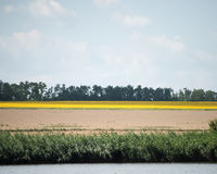 Yellow rapeseed flower field and blue sky near the river. Rapeseed field with forest far away Stock Photography