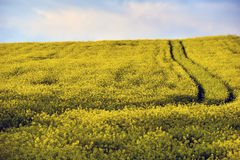 Yellow rapeseed flower field Royalty Free Stock Images