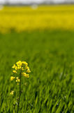 Yellow rapeseed flower on green wheat background. Yellow rapeseed flower on green crops wheat background Royalty Free Stock Photo