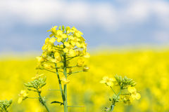 Yellow rapeseed flower macro photo Stock Photography