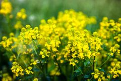 Yellow rapeseed flowers (Brassica napus) Royalty Free Stock Image