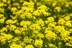 Yellow rapeseed flowers (Brassica napus) Royalty Free Stock Images