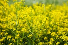 Yellow rapeseed flowers (Brassica napus) Stock Images