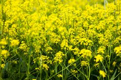 Yellow rapeseed flowers (Brassica napus) Royalty Free Stock Photos