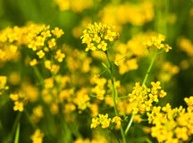 Yellow rapeseed flowers Brassica napus. Close up royalty free stock image