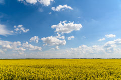 Yellow Rapeseed Flowers Field With Blue Sky. And Clouds Stock Photos