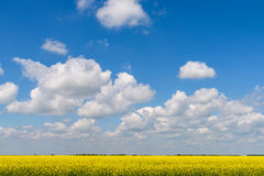 Yellow Rapeseed Flowers Field With Blue Sky Royalty Free Stock Photography