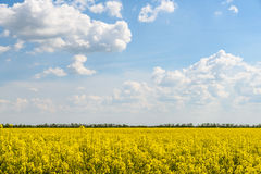Yellow Rapeseed Flowers Field With Blue Sky Royalty Free Stock Images