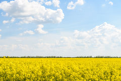 Yellow Rapeseed Flowers Field With Blue Sky Royalty Free Stock Photos