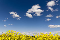 Yellow rapeseed flowers on field with blue sky and clouds Stock Photography