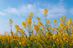 Yellow rapeseed flowers on field. Royalty Free Stock Photo