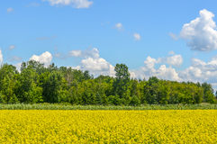 Yellow rapeseed flowers. On field with blue sky, clouds and forest, Quebec, Canada stock photo