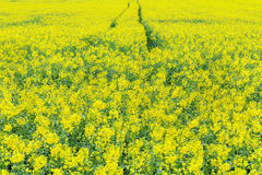 Yellow rapeseed flowers in field Royalty Free Stock Images