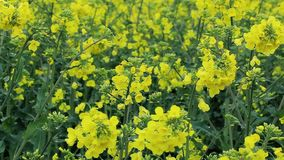 Yellow rapeseed flowers stock footage