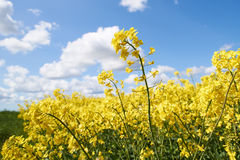 Yellow rapeseed flowers under a blue sky and white clouds Royalty Free Stock Photos