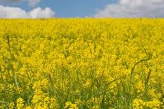 Yellow Rapeseed meadow Stock Photography