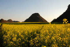 Yellow rapeseed oil field. Scenic view of yellow rapeseed oil field in bloom with mountains in background, Yunnan Province, Luoning County, China Stock Image
