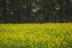 Yellow rapeseed plant field in westmünsterland. With a moody tree background royalty free stock photography