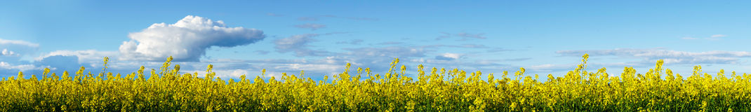 Yellow rapeseed plants on blue sky Royalty Free Stock Photo