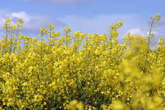 Yellow rapeseed under blue sky Stock Photos