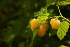 Yellow raspberries on a branch, in green leaves. Place for text, film effect Stock Images