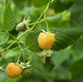 Yellow raspberry Stock Images