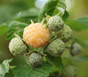 Yellow raspberry on the bush. Stock Photography