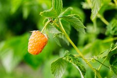 Yellow raspberry close-up on a branch. Yellow raspberry close-up on a bush branch Stock Photography