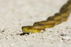 Yellow Rat Snake Royalty Free Stock Photos