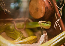 Yellow Rat Snake Royalty Free Stock Images