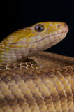 Yellow ratsnake Stock Image