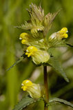 Yellow Rattle Stock Photos