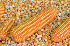 Yellow raw corn Stock Photo