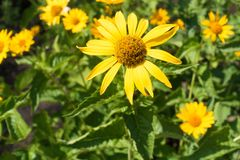 Yellow ray florets and brownish disc florets of false sunflower. In summer Stock Images