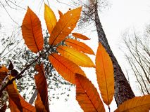 Yellow and read leaves in fall with tall trees Stock Images