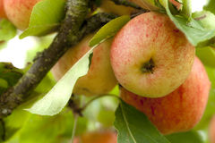 Yellow and red apple on a tree in orchard stock photo