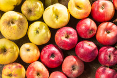 Yellow and red apples Royalty Free Stock Images